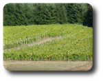 Wine grapes are grown on small fertile bits of ground near Elkton, Oregon.
